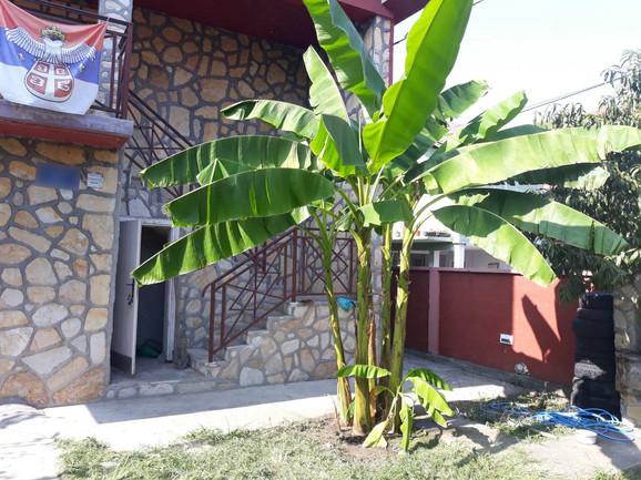 Prvo stablo banane koje su zasadili Lacmanovići