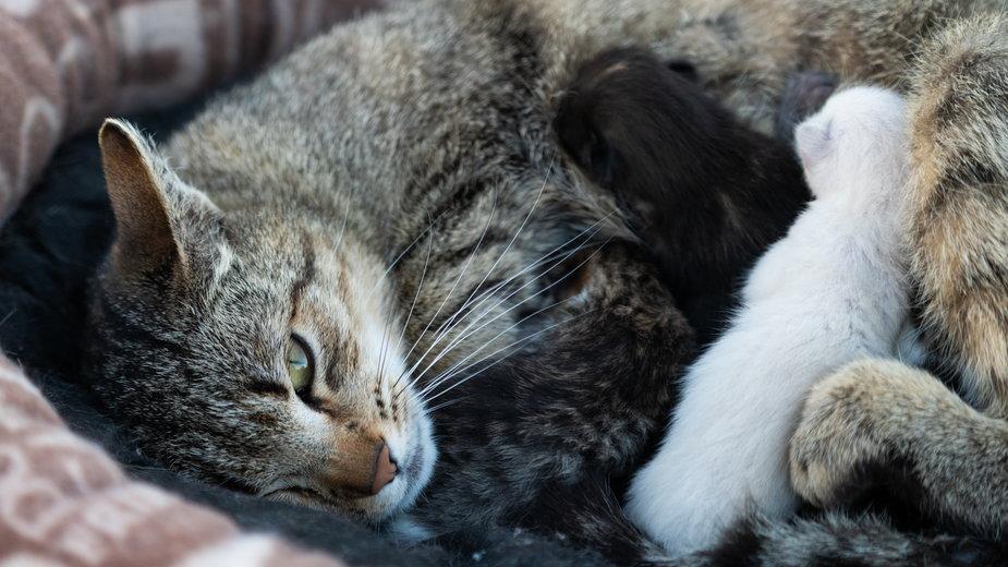 W niektórych przypadkach rodząca kotka może potrzebować pomocy - Piotr Szpakowski/stock.adobe.com
