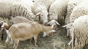 Problem z koszeniem trawy w Rzymie rozwiążą... owce i kozy