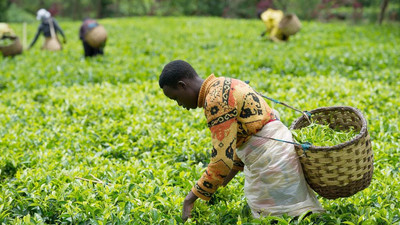 Climate change threatens Africa's largest tea production country