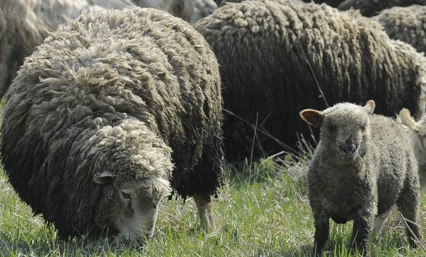 Nagi Polak straszył owce w Norwegii
