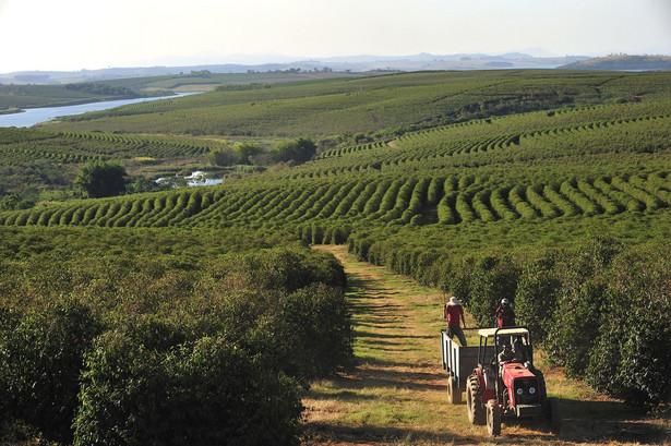 Plantacja kawy w Alfenas, Brazylia