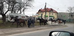 Stado spłoszonych koni na ulicach Zgierza!