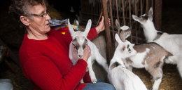 Na świat przyszły kozie czworaczki