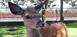 Straszne! Powiesili tego młodego jelenia na drzewie!