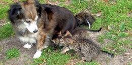 Suczka Perła pokochała kocie dzieci