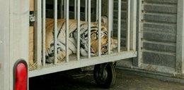 Zaginiony tygrys budził postrach w okolicy. Jego właściciel jest oskarżony o morderstwo. FILM