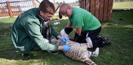 Dzielne tygryski nie bały się zastrzyku