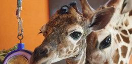 Żyrafa w czepku urodzona!