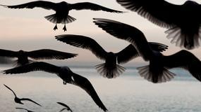 Kolejna tajemnicza śmierć ptaków
