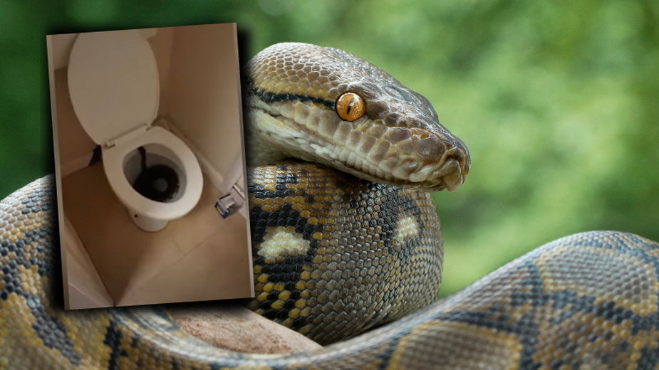 Ogromny wąż utknął w toalecie. Kobieta nie mogła go usunąć [NAGRANIE]