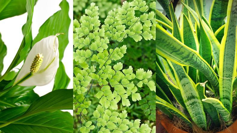Rośliny doniczkowe, które oczyszczają powietrze z zanieczyszczeń