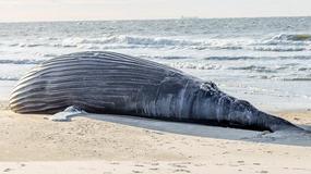 Martwy humbak na plaży na Long Island