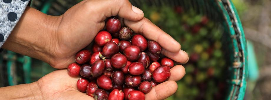 Indonesia, Farmer Holding Freshly Organic Coffee Beans, Red Coffee Cherries, Raw Berries Coffee Beans