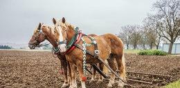 Konie w rolnictwie – przeżytek czy nowa moda?