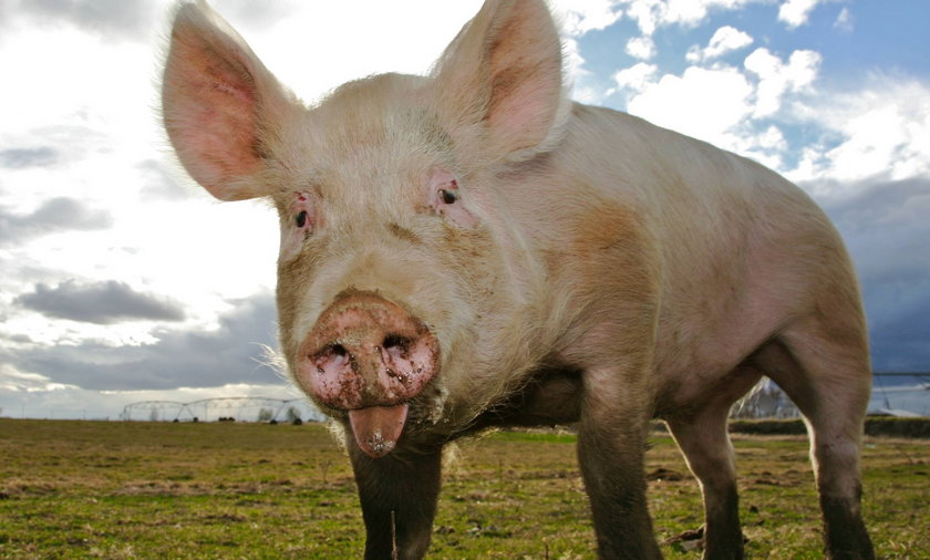 Wywiózł padłe świnie samochodem do lasu i zostawił padlinę