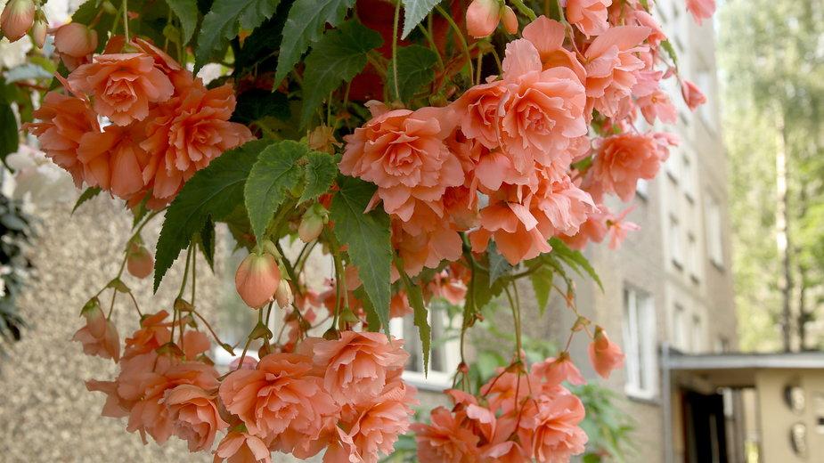 Begonia to doskonała roślina na balkon i taras - vaitekune/stock.adobe.com