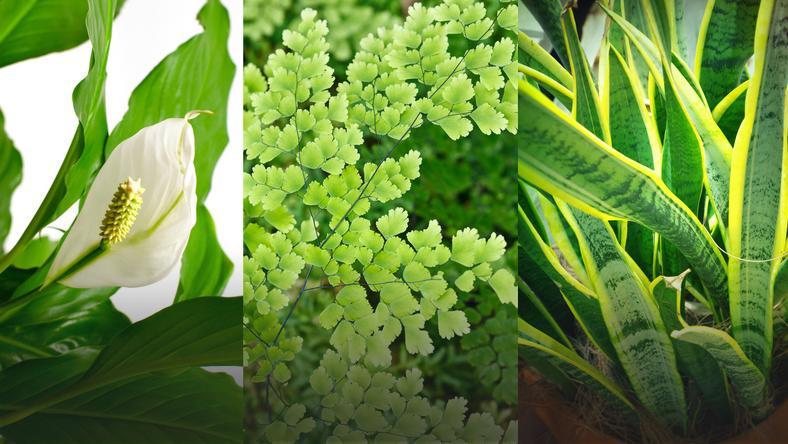 Rośliny Doniczkowe Które Oczyszczają Powietrze Z Groźnych