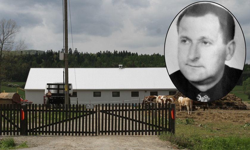 Tragedia na polskiej wsi. Byki zmasakrowały gospodarza!