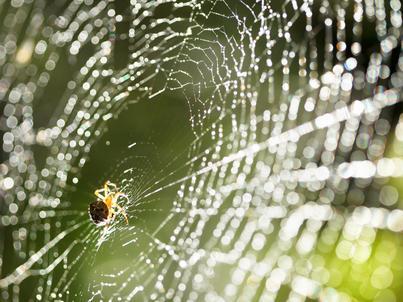 Pająki tkają sieci, by złapać w nie owady, które są dla nich pożywieniem. Naukowcy znaleźli dla pajęczyn również inne zastosowania