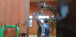 Tak masują żyrafy w zoo