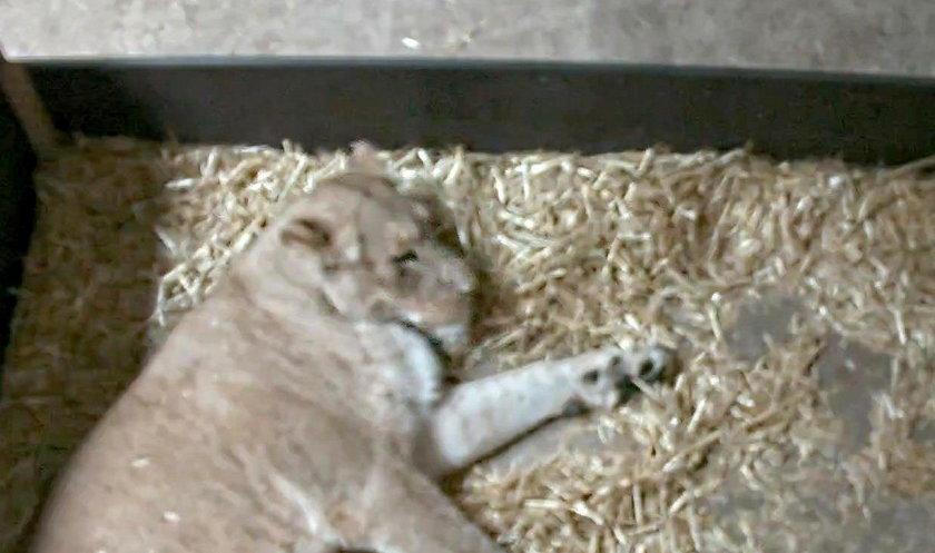 Makabra na wybiegu z lwami w Lipsku. Pracownicy zoo wstrząśnięci