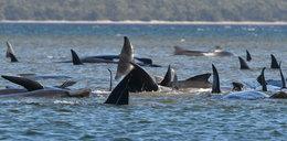 Setki wielorybów konają na oczach ludzi. Nie można im wszystkim pomóc