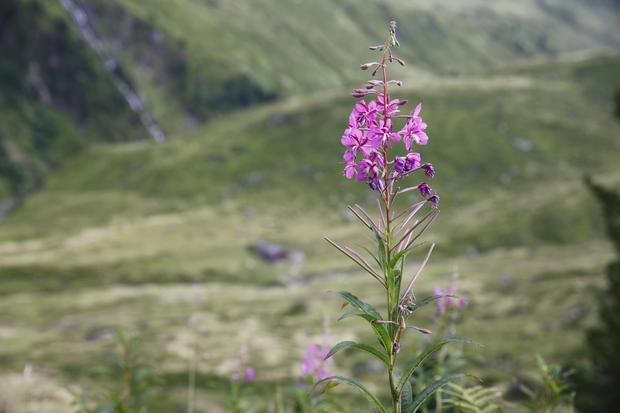 Firletka alpejska