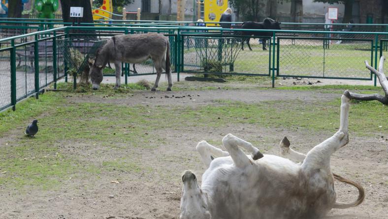 Poznańskie osły stały się sławne. Pisze o nich zagraniczna prasa