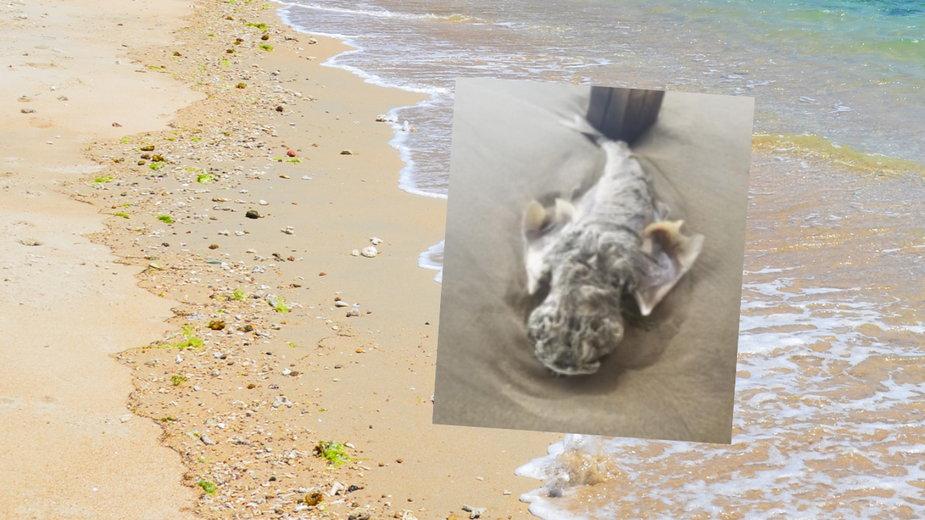Turysta natknął się na plaży na tajemnicze stworzenie
