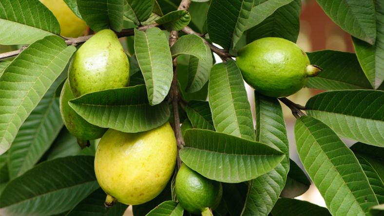 Guava leaves, fruit effect on fertility, pregnancy & sperm count