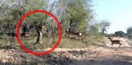Tak zabija leopard. Niesamowity FILM!