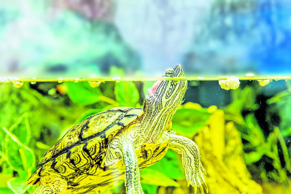 Kalifornijska kornjača i na Adi