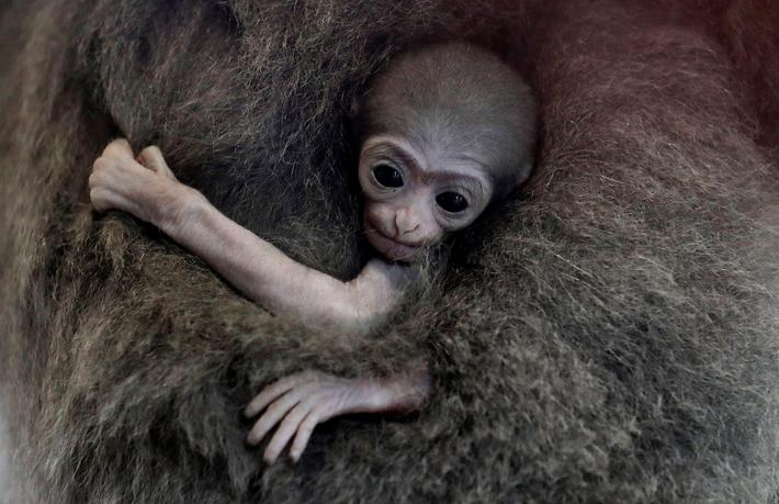 A newly born endangered Silvery Gibbon baby is held by its mother Alangalang at Prague Zoo