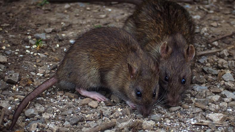 Viszketés és kellemetlen szag a patkány prosztatagyulladásában