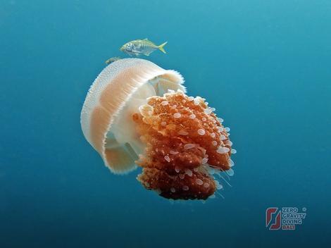 Elegantne meduze