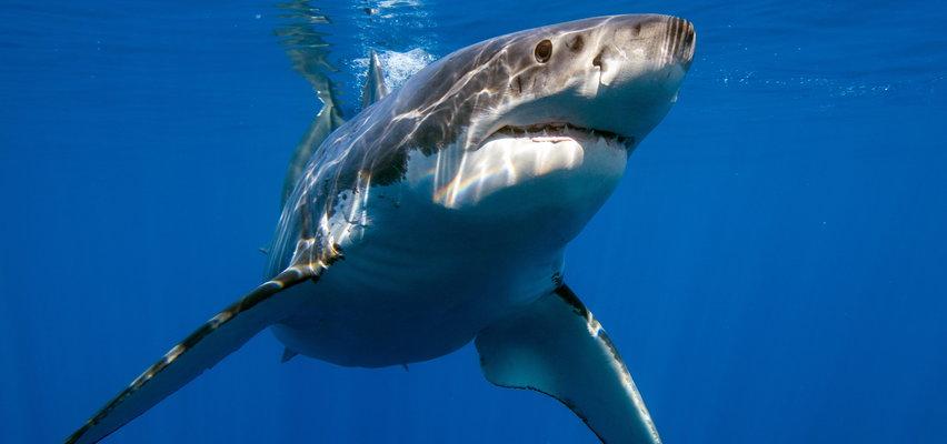 Panika na plażach w Portugalii. Rekiny podpływają do brzegu