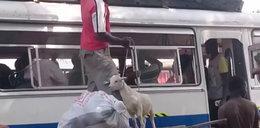 U nich kozy w autobusach to normalnka. Dziwne?