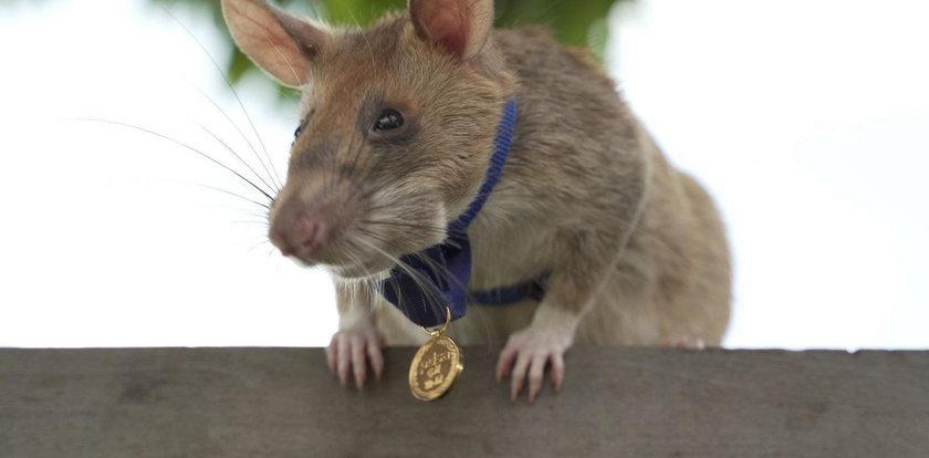 Szczur odznaczony złotym medalem! Jest bohaterem