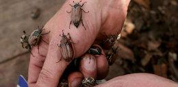 Straszny atak chrabąszczy na na polskie lasy
