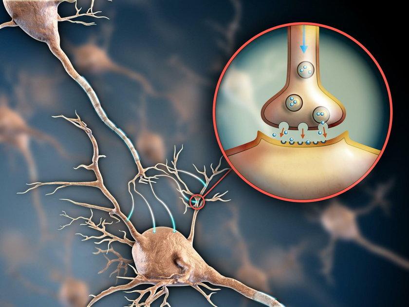 Komórki macierzyste tworzą nowe synapsy, czyli miejsca, gdzie z jednego neuronu na drugi przekazywane są impulsy nerwowe