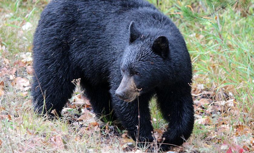 Niedźwiedź wyszedł do ludzi na Podhalu.