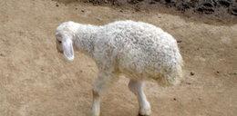 Ta owca ma dwie nogi