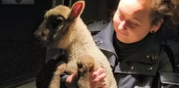 Policja aresztowała owieczkę? Poruszające zdjęcie