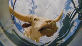 Jak piją zwierzęta? Zabawne nagranie z kamery... w wiadrze