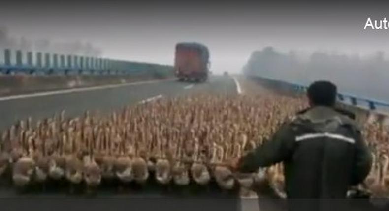 Geese blocking an expressway in China
