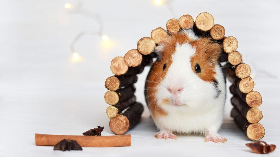 Warto kupić lub zrobić domek dla świnki morskiej - livianovakova10/pixabay.com