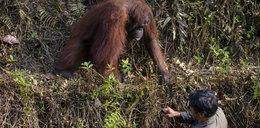 Niesamowita historia! Zobacz, co robi ten orangutan