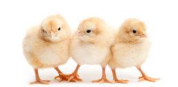 Nauczyciele dostają pensje w kurczaczkach