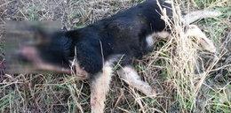 Kto zabił te psy? Skowytały, ale nikt ze wsi nie pomógł